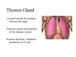 Thymus+Gland+Located+beneath+the+sternum,+between+the+lungs. (1)
